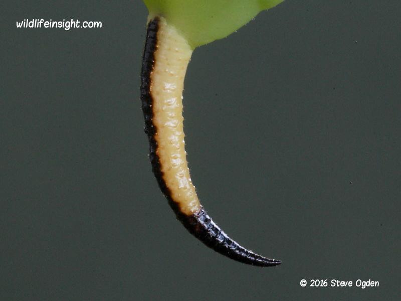 Privet Hawkmoth final instar larva tail horn (Sphinx ligustri) © 2016 Steve Ogden