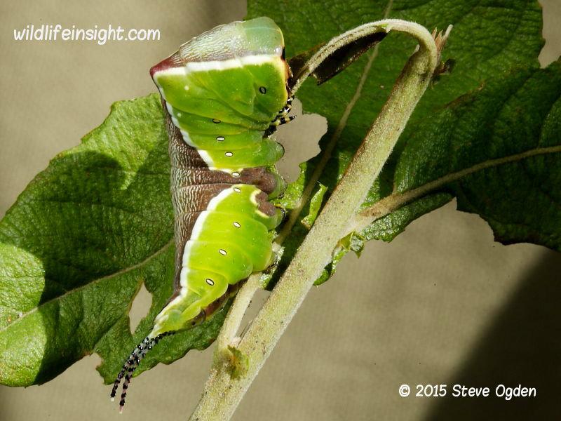 Puss Moth caterpillar final instar (Cerura vinula) 2015 Steve Ogden