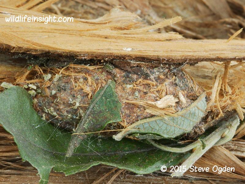Puss Moth caterpillar cocoon (Cerura vinula) 2015 Steve Ogden