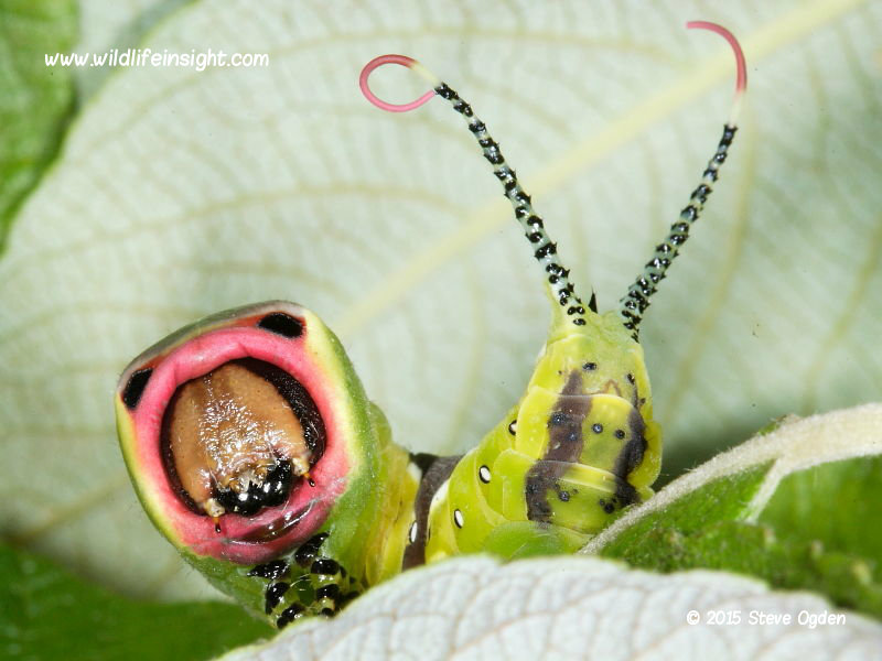 Puss Moth caterpillar (Cerura vinula)  showing extended red flagellae © 2015 Steve Ogden