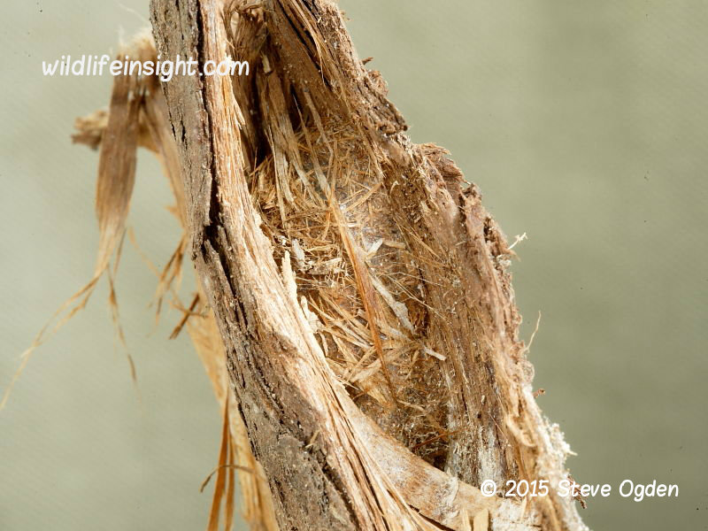 Puss Moth caterpillar cocoon in bark (Cerura vinula) 2015 Steve Ogden