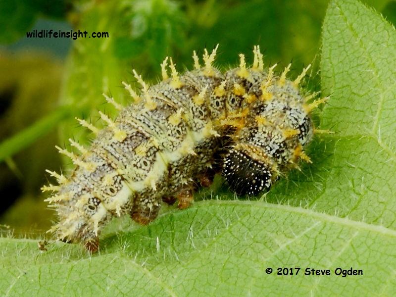 Red Admiral caterpillar (Vanessa atalanta) Cornwall © 2017 Steve Ogden