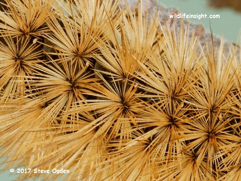 Hair rosettes of a fully grown Ruby Tiger Moth caterpillar © 2017 Steve Ogden