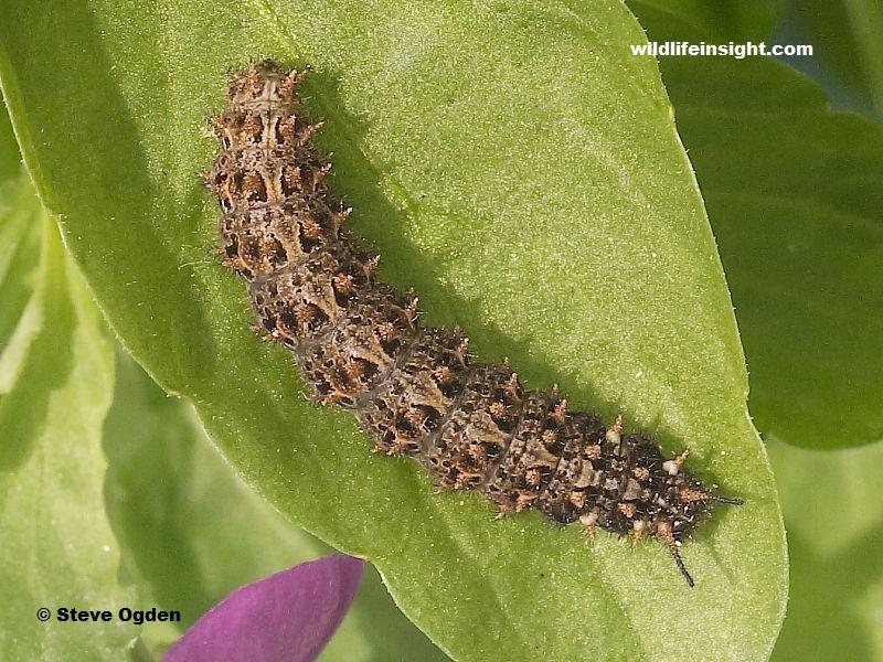 Fully grown Small Pearl-bordered Fritillary caterpillar