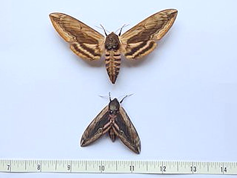 Small Privet Hawkmoth compared to set specimen photo Barry Ofield