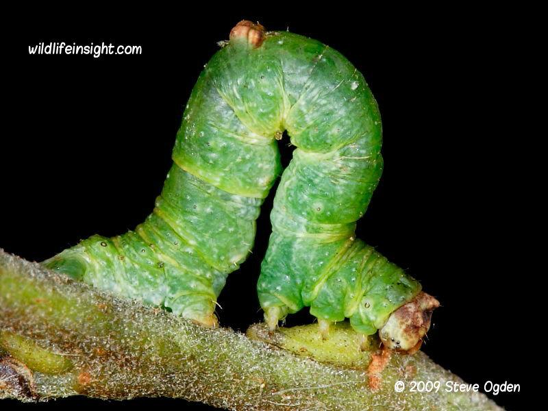 The Brimstone Moth green form of caterpillar (Opisthograptis luteolata) © 2009 Steve Ogden