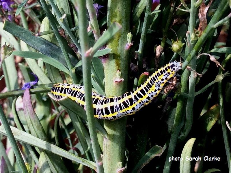 Toadflax Brocade caterpillar (Calophasia lunula) Maidstone. Kent UK photo Sarah Clarke