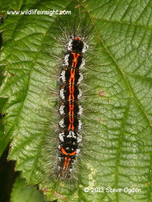 Yellow-tail caterpillar (Euproctis similis) final instar © 2013 Steve Ogden