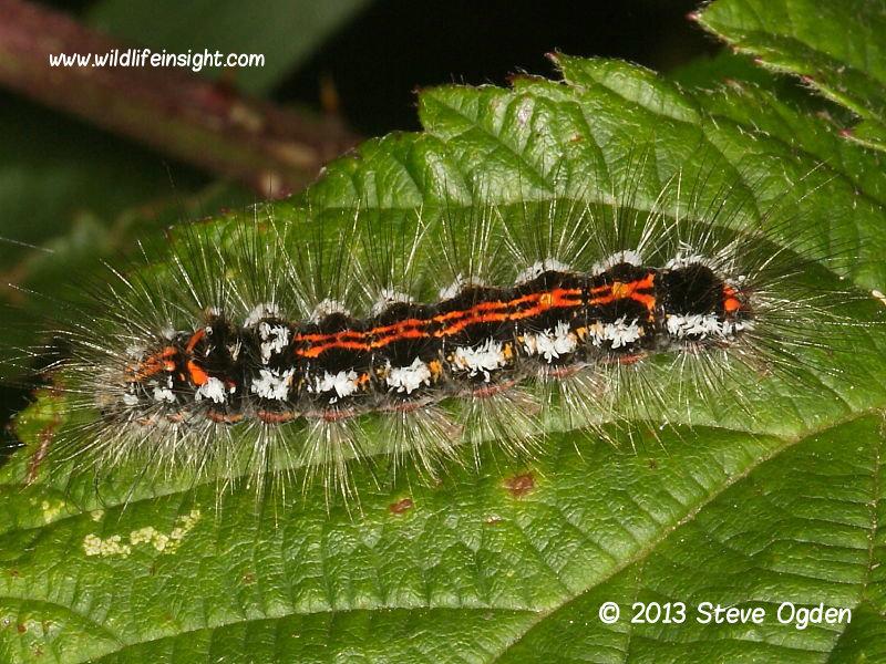 Yellow-tail (Euproctis similis) - final instar caterpillar © 2013 Steve Ogden