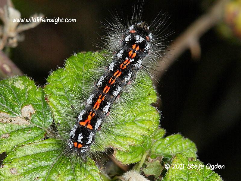 2030 Yellow-tail (Euproctis similis) - final instar caterpillar © 2011 Steve Ogden