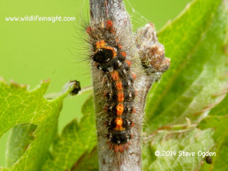 Yellow-tail moth caterpillar 7mm  © 2014 Steve Ogden