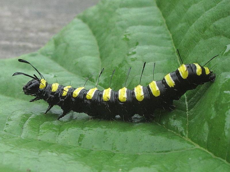 Alder Moth (Acronicta alni) larva