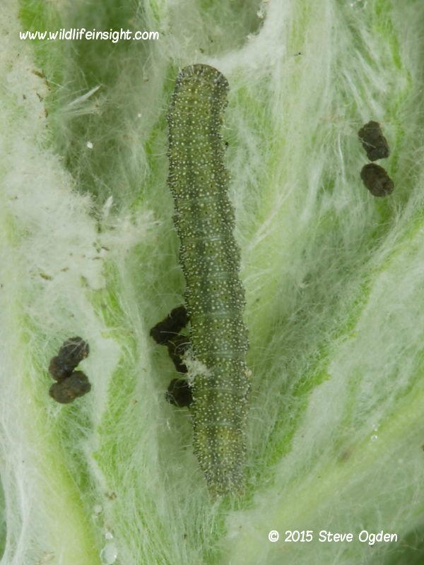 Bordered Straw caterpillar 8mm green form found on Fleabane, The Lizard, Cornwall © 2015 Steve Ogden