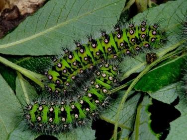 1643 Emperor Moth (Saturnia pavonia) late instar caterpillars