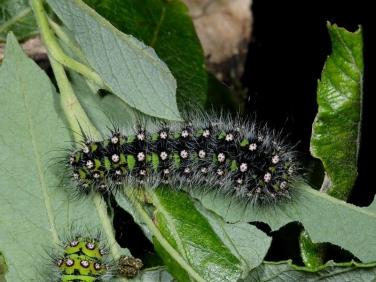 1643 Emperor Moth (Saturnia pavonia) late instar caterpillar