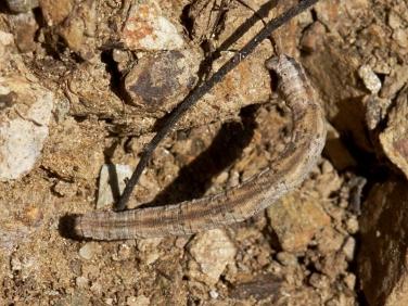 1689 Mullein Wave (Scopula marginepunctata) larva