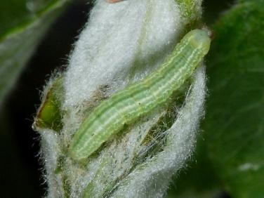 1799 Winter Moth (Operophtera brumata) - 07mm larva