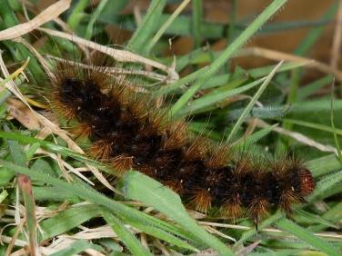 2058 Cream-spot Tiger (Arctia villica) - larva