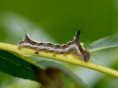 2284 Grey Dagger (Acronicta psi) - larva