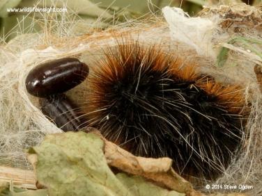 Garden Tiger moth caterpillar parasite pupa © 2014 Steve Ogden
