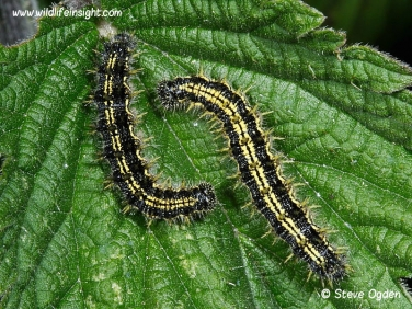 Small Tortoiseshell caterpillars 6662