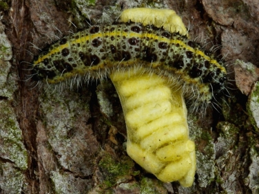 Apanteles glomeratus pupae on Large White butterfly caterpillar