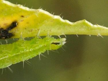 2441 Siver Y ( Autographa gamma) caterpillar head with black streak