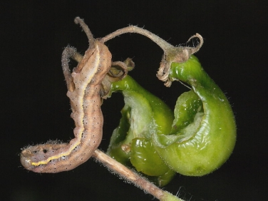2160 Bright-line Brown-eye (Lacanobia oleracea) - caterpillar
