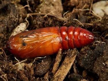 2154 Cabbage Moth (Mamestra brassicae) unearthed pupa