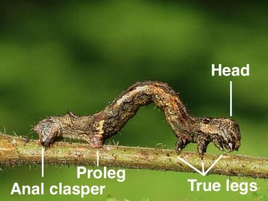 Caterpillar parts - Geometridae
