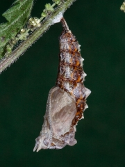 1598 Comma butterfly (Polygonia c-album) - caterpillar or larva pupating