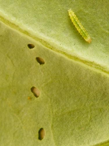 0464 Diamond-back Moth (Plutella xylostella) caterpillar and feeding holes