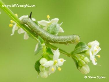 1984 Hummingbird Hawk-moth (Macroglossum stellatarum) 6 day old 7mm caterpillar