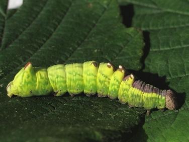 2000 Iron Prominent (Notodonta dromedarius) - larva