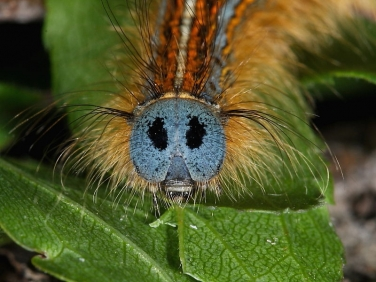1634 The Lackey (Malacosoma neustria) head of caterpillar