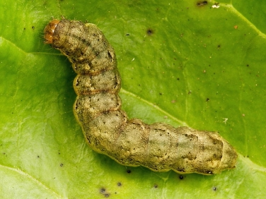 2154 Cabbage Moth (Mamestra brassicae) fully grown light brown/green form of caterpillar