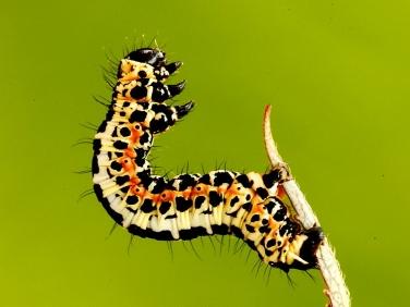 1884 The Magpie moth caterpillar (Abraxas grossulariata)