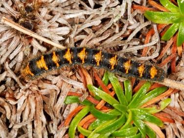 1637 Oak Eggar (Lasiocampa quercus) - 2nd instar caterpillar