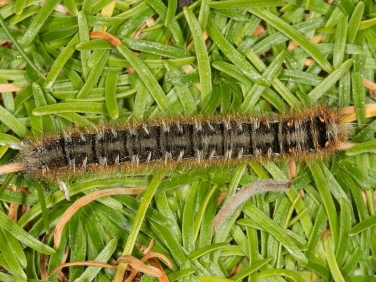 1637 Oak Eggar (Lasiocampa quercus) - late instar caterpillar