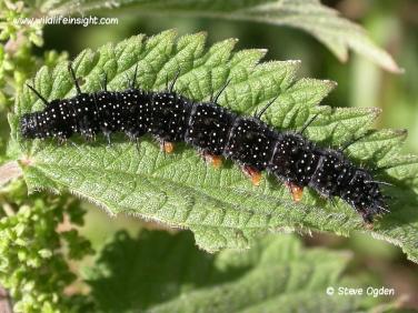Peacock Butterfly caterpillar 42 mm (Inachis io) © 2005 Steve Ogden
