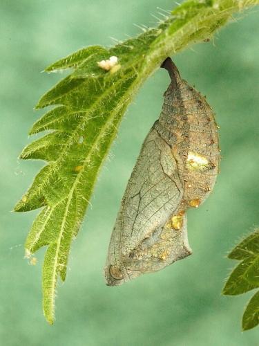 Red Admiral (Vanessa atalanta) butterfly chrysalis