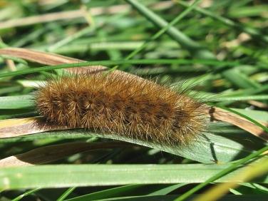 2064 Ruby Tiger (Phragmatobia fuliginosa) - caterpillar