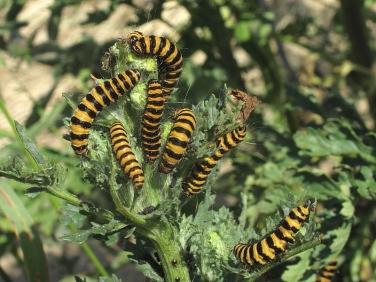 2069 The Cinnabar (Tyria jacobaeae) - larvae