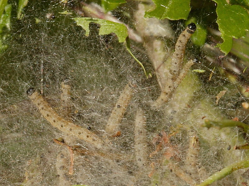 Caterpillars In Silk Web Spun On Hawthorn At Penhale Sands