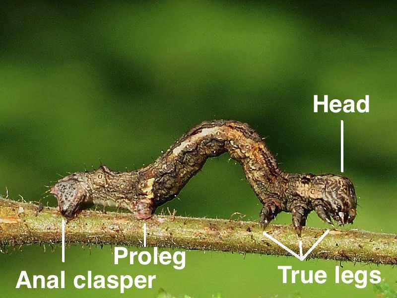 Caterpillar Anatomy   Wildlife Insight