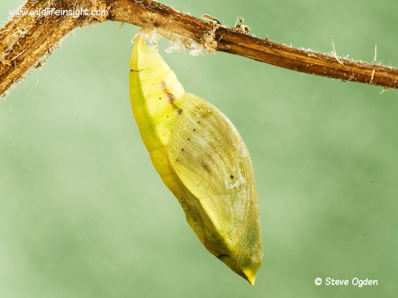 Clouded Yellow Butterfly (Colias croceus) chrysalis lacking silk girdle having become detached © 2013 Steve Ogden