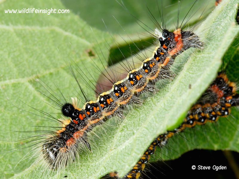 Dark Dagger (Acronicta tridens) 18mm caterpillar © 2016 Steve Ogden