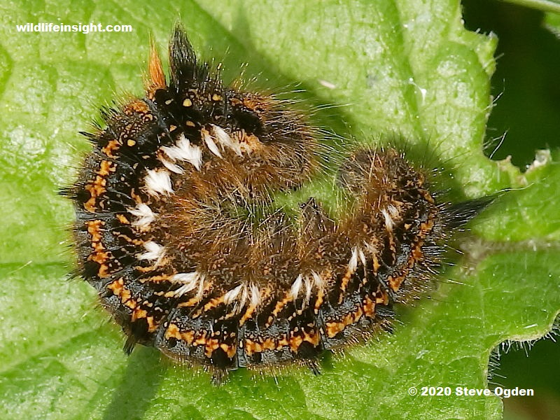 Drinker moth caterpillar basking in sunshine on the north Cornish coast UK in early Spring © 2020 Steve Ogden