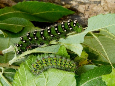 1643 Emperor Moth (Saturnia pavonia) fully grown and late instar caterpillars