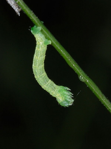 1799 Winter Moth (Operophtera brumata) - 07mm larva